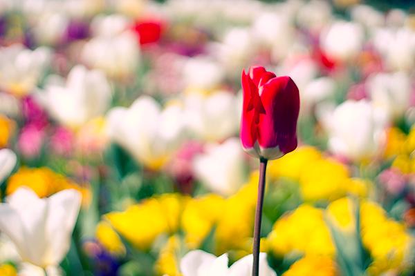 My Blog- Julia Williams - Open Door Thinking, image of red tulip in field of tulips